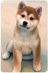 Baby Shiba Inu  omg.... like a chubby faced fox  :)