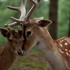 I believe the red deer is the most beautiful of creatures. Nature Animals, Animals And Pets, Baby Animals, Funny Animals, Cute Animals, Beautiful Creatures, Animals Beautiful, Beautiful Things, Deer Family