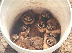 bucket of baby owls