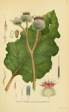 Burdock (Arctium sp., Asteraceae), from 'Billeder af nordens flora', by Mentz & Ostenfeld, 1917-1927. Source: Biodiversity Heritage Library, BHL. [public domain image]