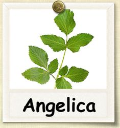 How to Grow Angelica | Guide to Growing Angelica