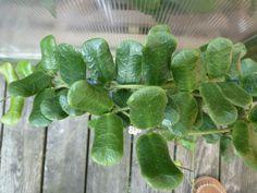 Hoya sp. Square Leaf