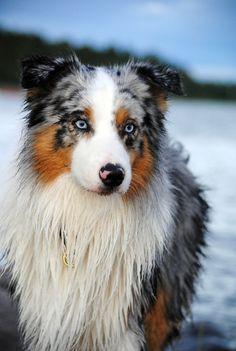 Berger australien avec de magnifique yeux bleu <3