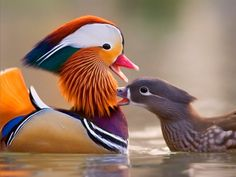 A male Mandarin duck in its mating plumage. Found in Asia, these ducks are closely related to the North American Wood Duck. Pretty Birds, Love Birds, Beautiful Birds, Animals Beautiful, Cute Animals, Pretty Animals, Canard Mandarin, Mandarin Duck, Aix Galericulata