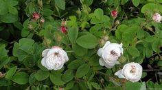 'La signora Hardy' Rose Photo