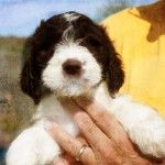 Sproodle... Springer Poodle cross... might have to look into it as I LOVED my childhood springer but so many seem not so smart now. The poodle could help that!