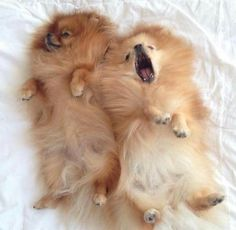 Childhood memories...Pomeranians scare me a little...even ones as small as this.