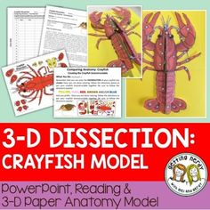 Crayfish Dissection - 3-D Paper Model - Science Interactive Notebook - for biology and life science  This 3-D crayfish dissection anatomy model can be used as a dissection-free crayfish exploration, a pre-dissection study tool, or even as a summative assessment for comparative anatomy. Students will be able to identify and explain the structure and function of the internal and external anatomy of the crayfish.
