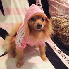 Bluza dla psa Adidog Corgi, Animals, Animais, Corgis, Animales, Animaux, Animal, Dieren