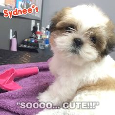 This sweet baby's first ever grooming at our location in Dr. Boyd's Pet Resort!