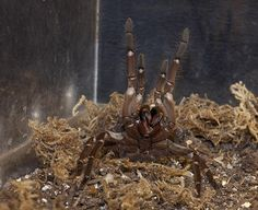 Some spiders attack with their… hair? Check this out and other weird spider facts here.