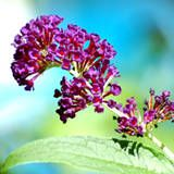 Butterfly Bush -- A shrub that has had a prime place in hummingbird gardens is butterfly bush (Buddleja davidii), shown in the picture at the top of this page. Butterfly bush can get 6'-12' tall and have a spread of 4'-15' in warm climates, but even so, consider pruning it back to the ground in the winter garden. It will re-emerge from its roots in spring. Blooms tend to be larger and more prolific on butterfly bush's new growth, giving you incentive for pruning it. You essentially want to…