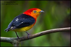 Band-tailed Manakin by Glenn Bartley