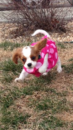 Cavalier King Charles spaniel. Most adorable puppies ever.