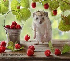 The Secret Life Of Hamsters And Hedgehogs: Humorous Photos Of The House Pets By Elena Eremina Happy Hedgehog, Cute Hedgehog, Animals And Pets, Baby Animals, Funny Animals, Wild Animals, Pygmy Hedgehog, Cute Hamsters, Little Critter