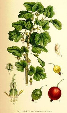 uva espina o g blanca