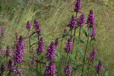 Stachys_officinalis_Hummelo_1.jpg (2048×1365)