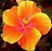 Hibiscus - Wikipedia, the free encyclopedia
