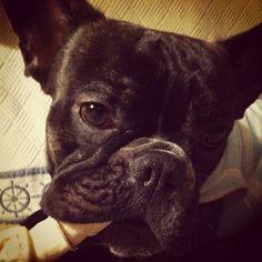 """@instabynina's photo: """" Nunis #frenchie #frenchbulldog"""""""