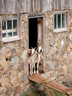 To raise happy, healthy goats, you will need room in your backyard for a goat pen and a goat house, as well as storage space for the goats' food and other goat-related supplies such as straw. From MOTHER EARTH NEWS magazine.