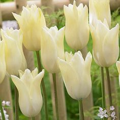 Tulip First Proud - Parkers Wholesale