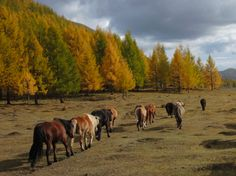 Riding and pack horses of Stone Horse Expeditions, Mongolia, in their home valley in autumn.