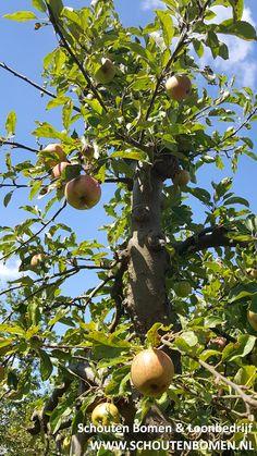 Voor karakteristieke oude fruitbomen, notenbomen en laan- en sierbomen bent u bij ons aan het goede adres! We hebben oa prachtige oude appelbomen beschikbaar!