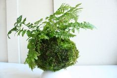 Kokedama Ball String Garden | fern #moss #kokedama