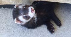 Loki #ferret
