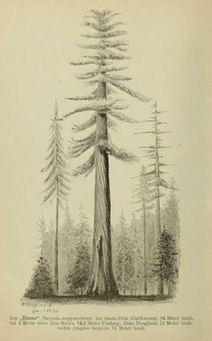 Die Waldungen von Nordamerika: - Biodiversity Heritage Library