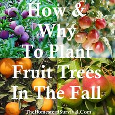 Why To Plant Fruit Trees In The Fall - Grow Your Own! How amp; Why To Plant Fruit Trees in the FallHow amp; Why To Plant Fruit Trees in the Fall Fruit Garden, Garden Trees, Edible Garden, Garden Pool, Growing Fruit Trees, Growing Tree, Trees And Shrubs, Trees To Plant, Planting Apple Trees