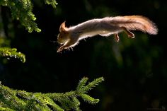 Leaping squirrel                                         - Mika Puurula Photography