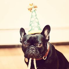 Birthday Frenchie