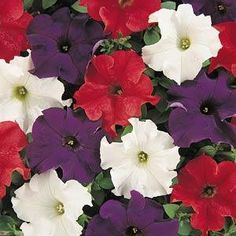 Dreams Patriot Mix petunia seeds - Garden Seeds - Annual Flower Seeds
