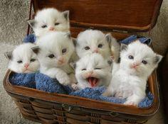 A basket of Ragdoll kittens.