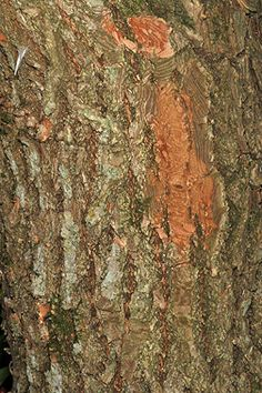 sassafras tree bark | Bark: Brown, with cinnamon-brown inner bark, becoming coarsely ridged ...