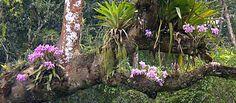 The Ecological Habitat of Cattleyas