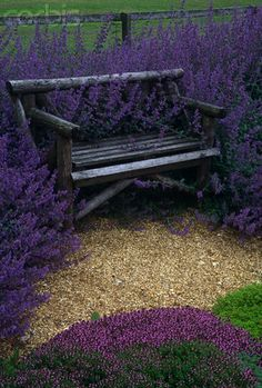 Garden Bench surrounded by Catmint (Nepeta X faassenii 'Six Hills Giant')