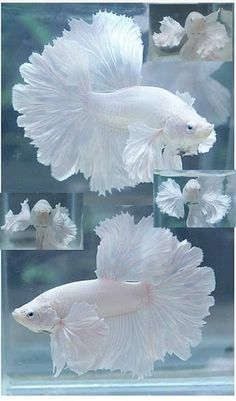 White Platinum Big Ear Rosetail Male Betta