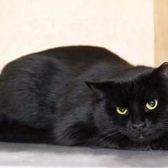 Pictures of Kookoo a female Domestic Shorthair for adoption at Palm Springs Animal Shelter, Palm Springs, CA who needs a loving home. ID#36700463
