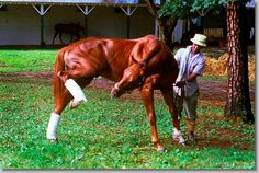 Alydar's got an itch... (by Mark Wyville) Bizarre that it's the leg which broke under suspicious circumstances at Calumet Farm...