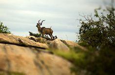 Kudu Bull Moose, Animals, Elk, Animales, Animaux, Mousse, Animais, Animal