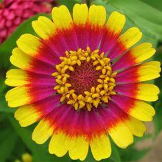 Multi Color Zinnia Seeds