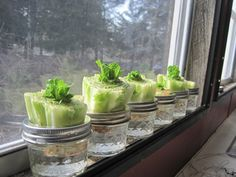 Re-growing Lettuce It?s not a hard concept. Stick the crown end in water after you& cut off all the lettuce. I figured I ?d give it a shot and I have to say, so far I have been amazed.ll see what happens going forward. Growing Vegetables, Growing Plants, Regrow Vegetables, Organic Gardening, Gardening Tips, Container Gardening, Organic Farming, Growing Lettuce, Vegetables