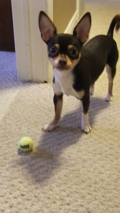 Peanut My Chihuahua.... Finally smaller balls for smaller dogs!!