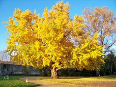 Ginko Biloba. My favorite tree climbing tree from school. The fruit stinks though.