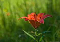 28 photographs of the gorgeous Siberian Lily. It grows in Yakutia, Russia | Якутия.Фото