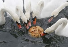 Swans feed on a piece of bread at a lake in Zbilje, Slovenia. (Reuters)