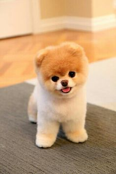 Boo the Pomeranian,  on the pet meds commercial,( the cutest dog in the world!) I want this little puff ball!!!