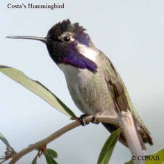 Costa's Hummingbird is one of the smaller members of the North America hummingbird family. The male bird of this species is recognizable by its long beard type gorget, giving it a fierce look.